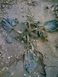 霜の影響でじゃがいもの葉が枯れてしまいました。