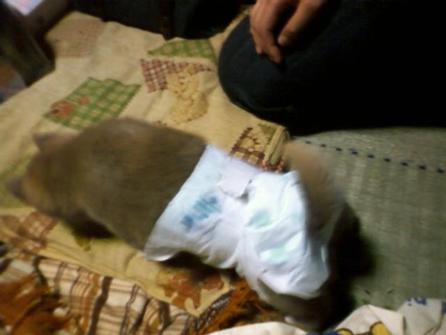 愛犬モモにオムツを買って来ました。