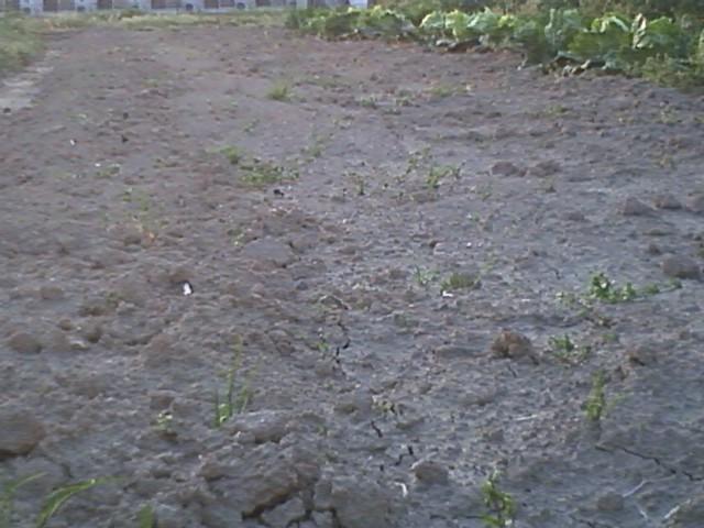 ジャガイモが発芽してくれました。