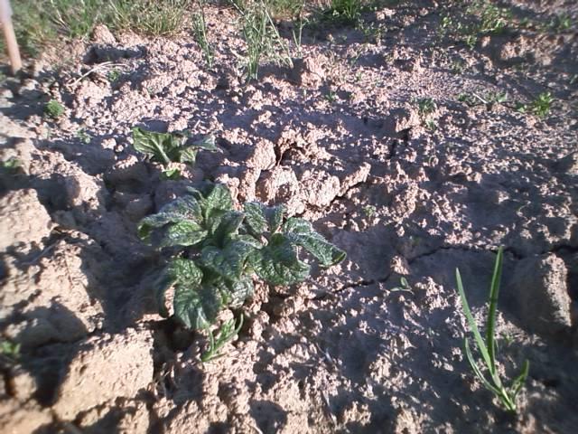 最初に植え付けた方のジャガイモです