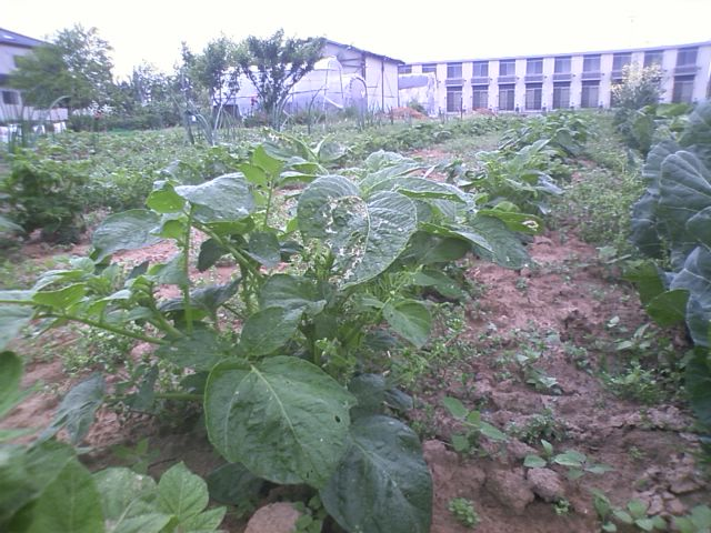 ジャガイモの生長